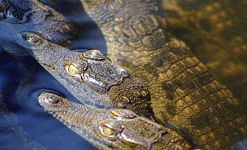"""Obrázek """"http://www.wildafrica.cz/images/animals/100_krokodcrocodile-6-big.jpg"""" nelze zobrazit, protože obsahuje chyby."""