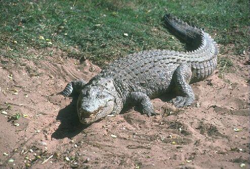 """Obrázek """"http://www.wildafrica.cz/images/animals/104_krokodyln.jpg"""" nelze zobrazit, protože obsahuje chyby."""