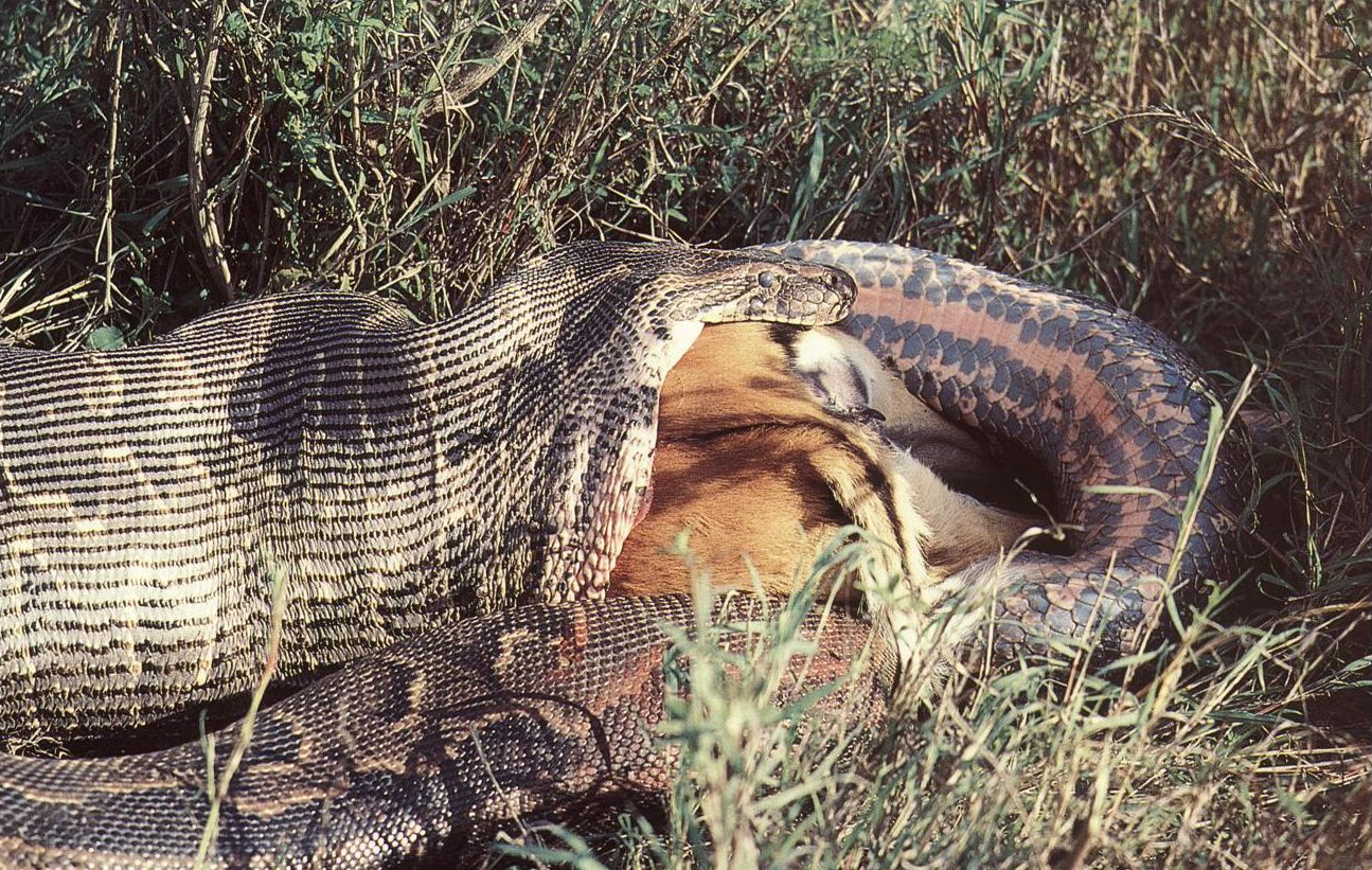 "Obrázek ""http://www.wildafrica.cz/images/animals/180_krajta-pismenkova-python-sebae-1.jpg"" nelze zobrazit, protože obsahuje chyby."