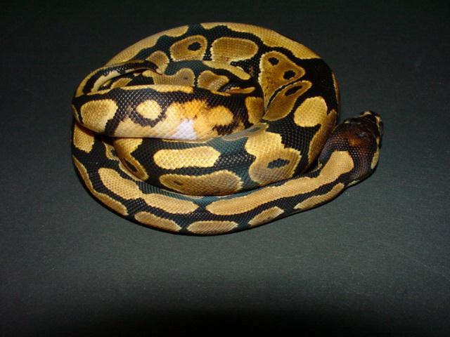 "Obrázek ""http://www.wildafrica.cz/images/animals/186_krajta-kralovska-python-regius-5.jpg"" nelze zobrazit, protože obsahuje chyby."