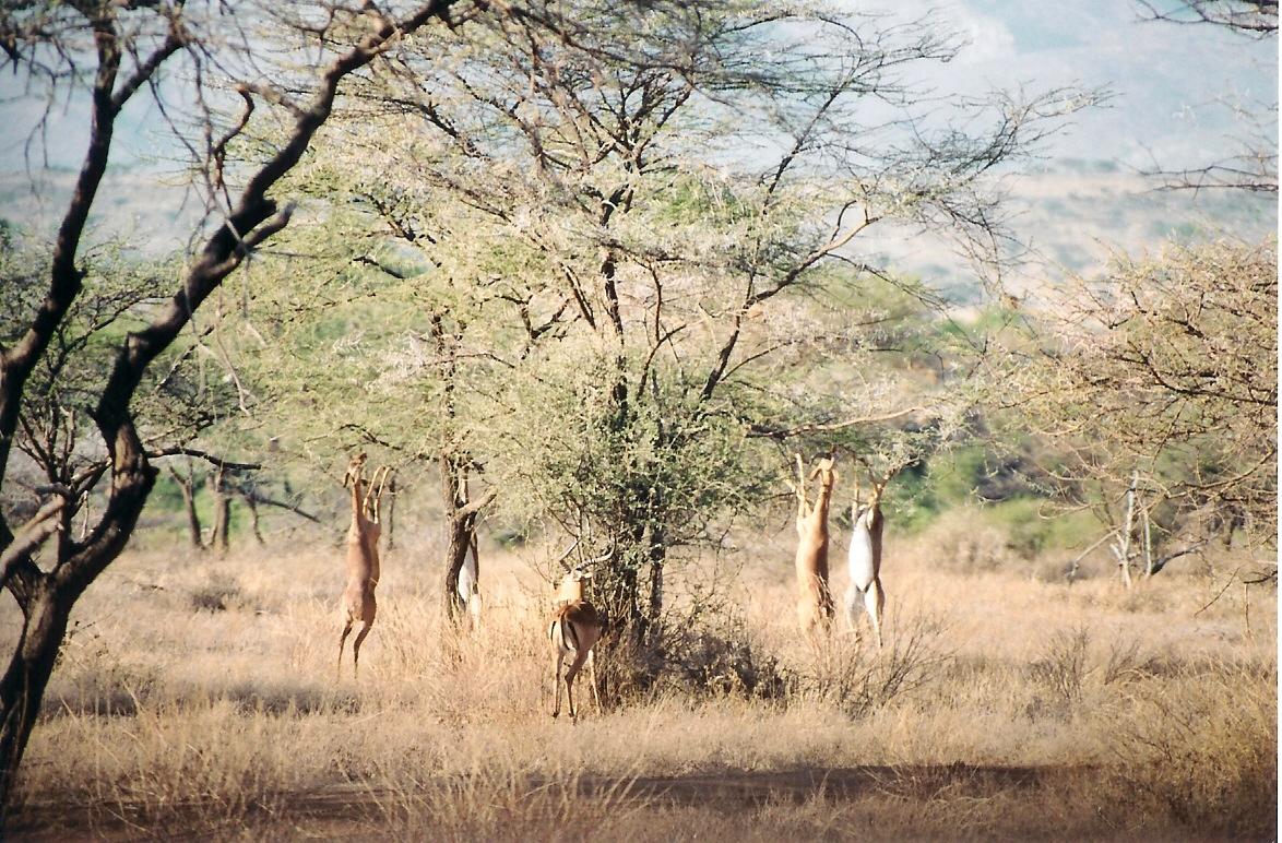 "Obrázek ""http://www.wildafrica.cz/images/animals/208_gerenuk.jpg"" nelze zobrazit, protože obsahuje chyby."