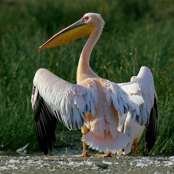 http://www.wildafrica.cz/images/animals/249_pelikan-bily-greatwhitepelicanpelecanusonocrotalu.jpg