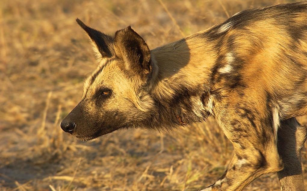 http://www.wildafrica.cz/images/animals/331_pes-hyenovy14.jpg