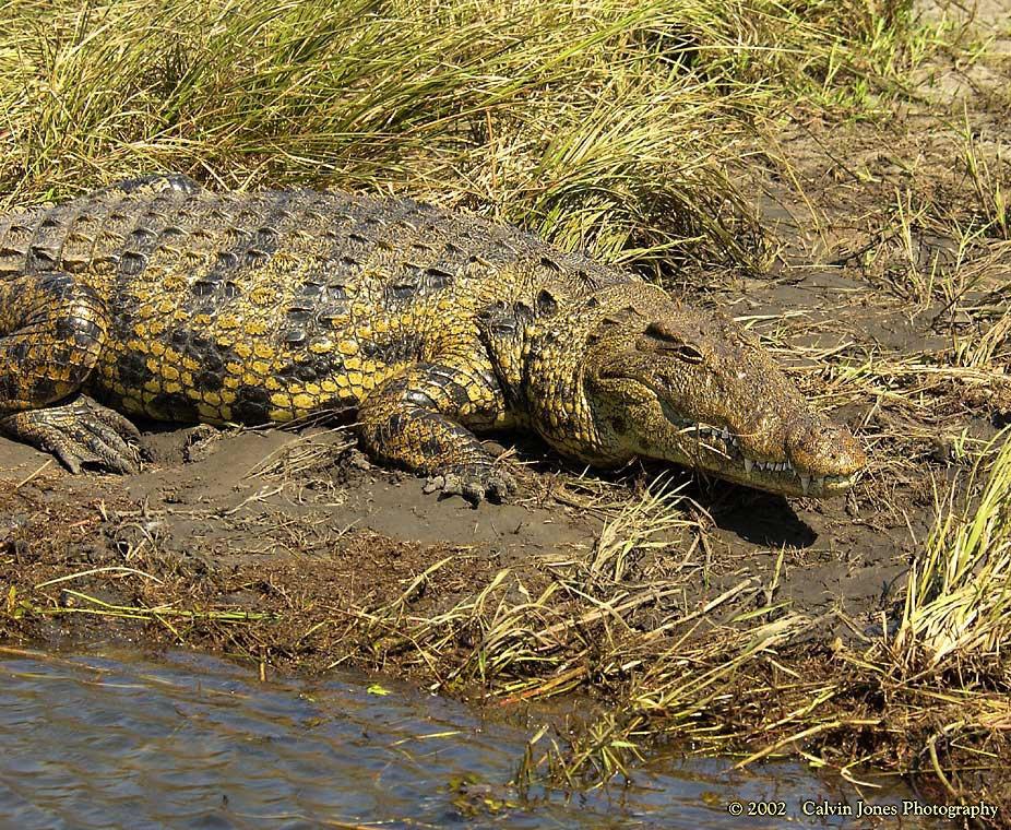 """Obrázek """"http://www.wildafrica.cz/images/animals/334_krokodyl12.jpg"""" nelze zobrazit, protože obsahuje chyby."""