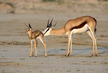 """Obrázek """"http://www.wildafrica.cz/images/animals/35_springbok2.jpg"""" nelze zobrazit, protože obsahuje chyby."""