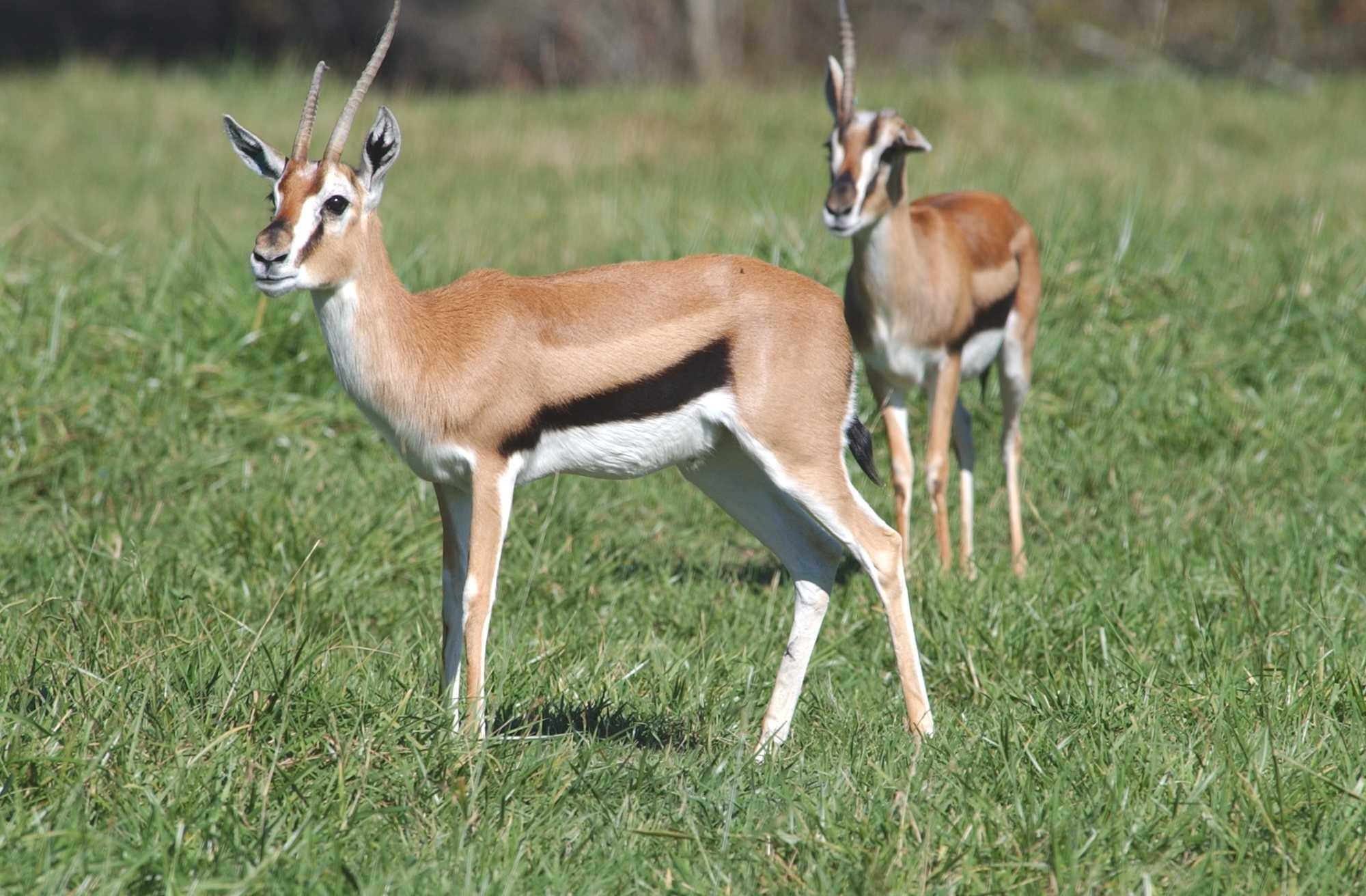 """Obrázek """"http://www.wildafrica.cz/images/animals/385_gazela-thomsonova.jpg"""" nelze zobrazit, protože obsahuje chyby."""
