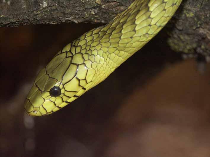 "Obrázek ""http://www.wildafrica.cz/images/animals/392_mamba-viridis.jpg"" nelze zobrazit, protože obsahuje chyby."