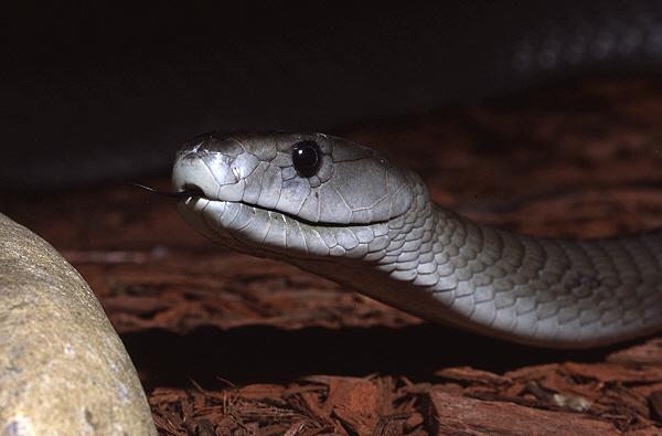 "Obrázek ""http://www.wildafrica.cz/images/animals/45_black-mamba1-jpg.jpg"" nelze zobrazit, protože obsahuje chyby."