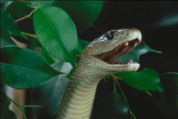 "Obrázek ""http://www.wildafrica.cz/images/animals/46_black-mamba.jpg"" nelze zobrazit, protože obsahuje chyby."