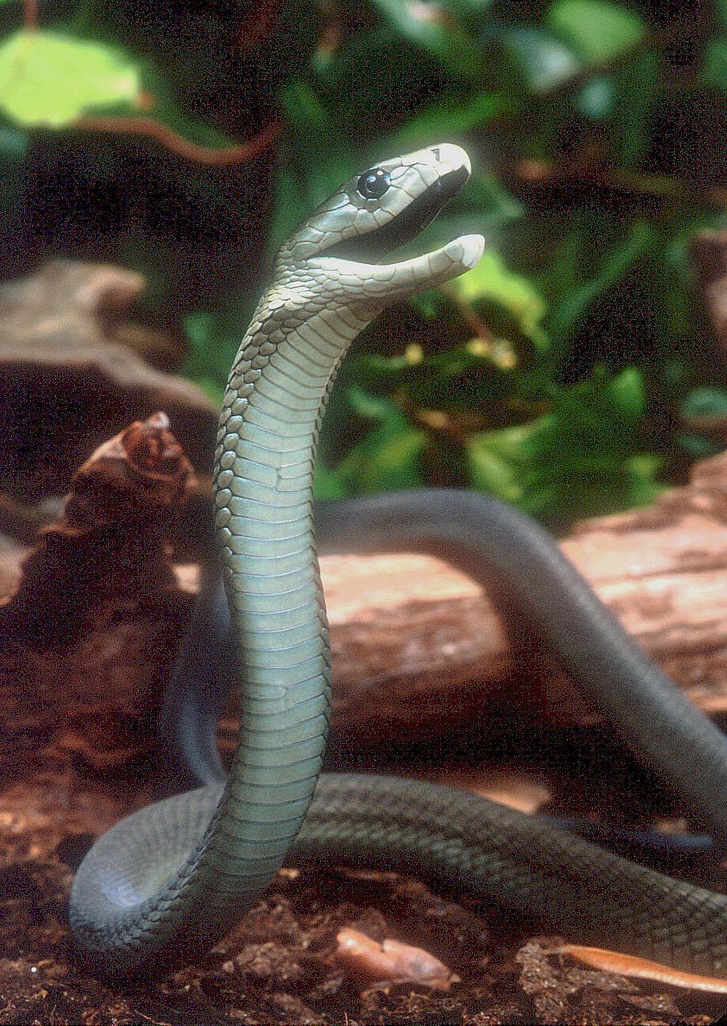 """Obrázek """"http://www.wildafrica.cz/images/animals/47_dendroaspis-polylepis.jpeg"""" nelze zobrazit, protože obsahuje chyby."""