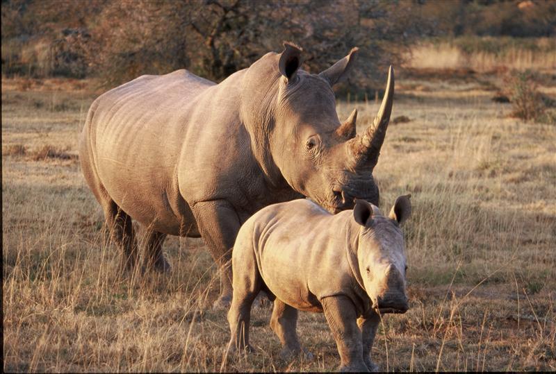 http://www.wildafrica.cz/images/animals/492_nosorozec-tuponosy-white-rhino-02.jpg