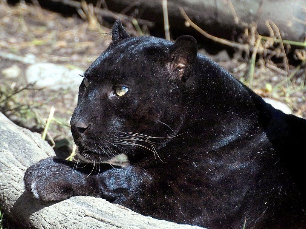 http://www.wildafrica.cz/images/animals/536_levhart-4-cerny1.jpg
