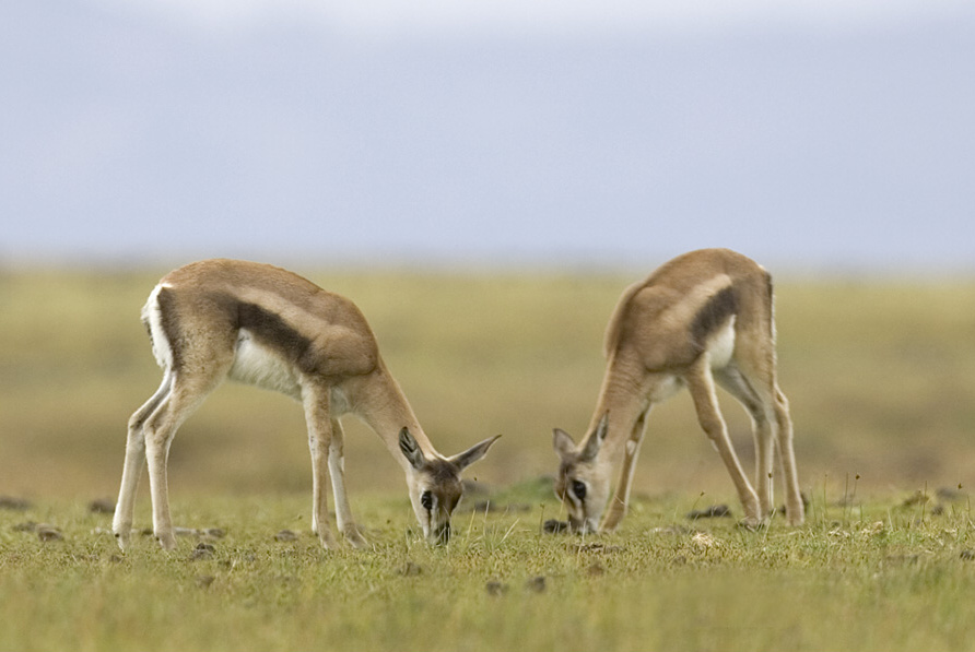 """Obrázek """"http://www.wildafrica.cz/images/animals/67_gazellathomsoniikj7t7980.jpg"""" nelze zobrazit, protože obsahuje chyby."""