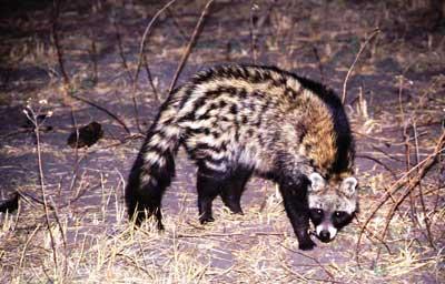 http://www.wildafrica.cz/images/animals/681_cibetka-africka-civet.jpg
