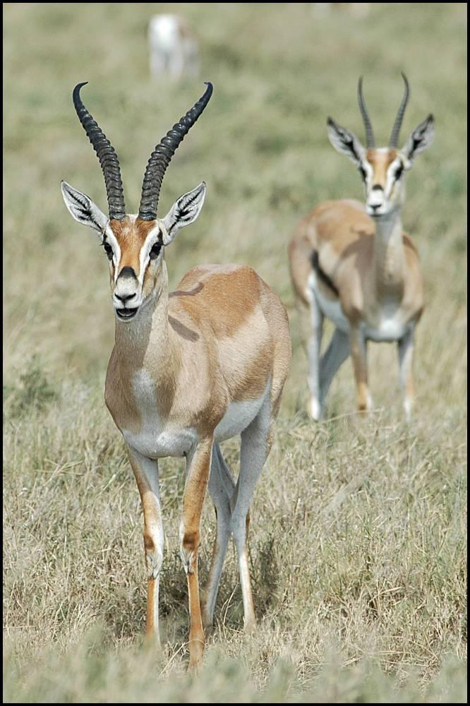 "Obrázek ""http://www.wildafrica.cz/images/animals/70_grants.jpg"" nelze zobrazit, protože obsahuje chyby."