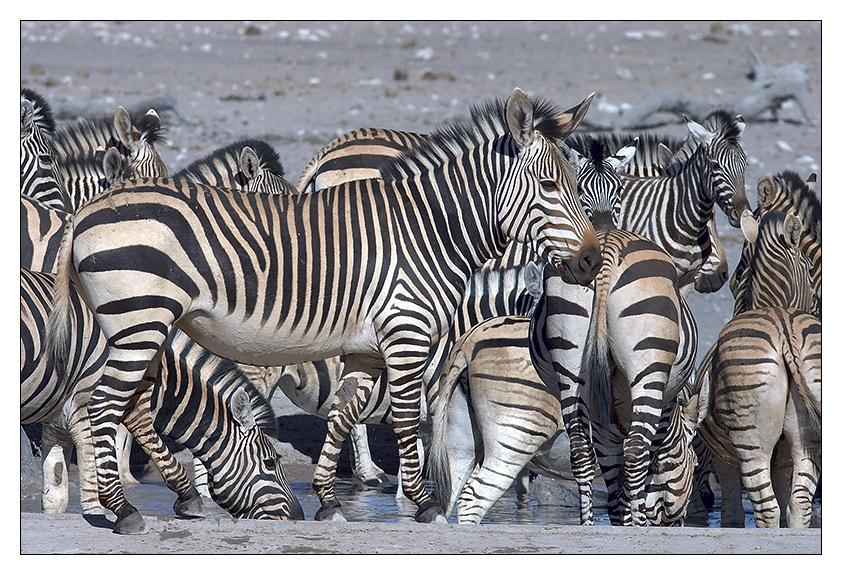 http://www.wildafrica.cz/images/animals/84_zebra-hartmannova11.jpg