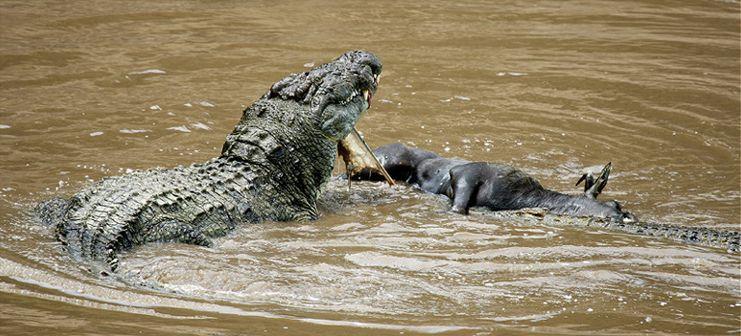 """Obrázek """"http://www.wildafrica.cz/images/animals/98_krokodcroco.jpg"""" nelze zobrazit, protože obsahuje chyby."""