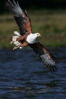 Orel jasnohlasý