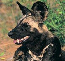 "Obrázek ""http://www.wildafrica.cz/images/animals/th/16_lycaon1.jpg"" nelze zobrazit, protože obsahuje chyby."