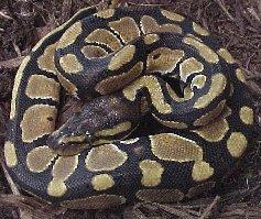 http://www.wildafrica.cz/images/animals/th/187_krajta-kralovska-python-regius-3-jpg.jpg
