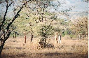 Antilopa žirafí