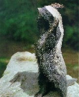 Medojed kapský