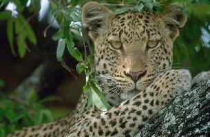 Levhart somálský