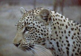 Levhart súdánský