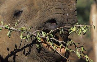 Nosorožec dvourohý jihoz.