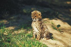 Gepard súdánský
