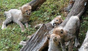Gepard severoafrický