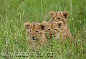 Lev kapský