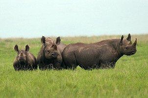 Nosorožec dvourohý jižní