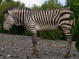 Zebra Hartmannové